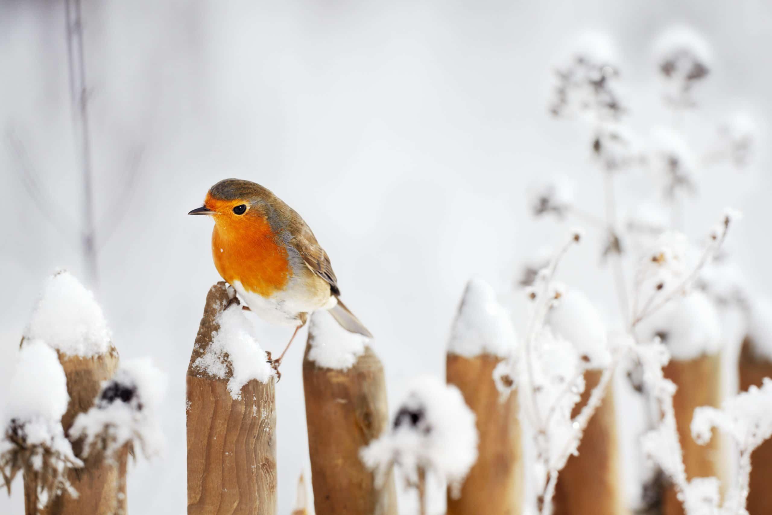 European Robin perching on a garden fence in winter